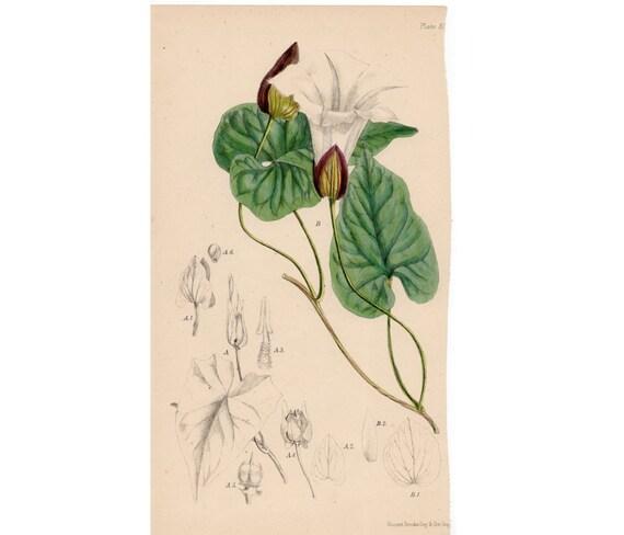 19thC FLOWER MORNING GLORY flowers antique botanical flower print original engraving
