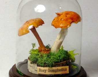 MUSHROOM - Museum Replica Quality in Display Cloche ( Rosy Gomphedius)
