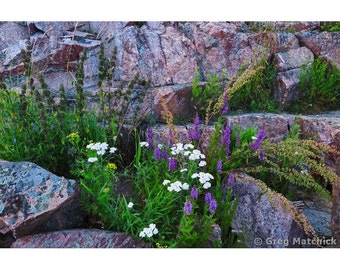 Fine Art Color Photography of Wildflowers Among the Rocks on the Coastline of Suomenlinna Island in Finland