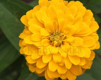 Photo Art by Kathy Kafka - Yellow Flower Blooming petals fine art photography print wall picture