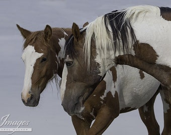 Picasso Courting - Fine Art Wild Horse Photograph - Wild Horse - Picasso