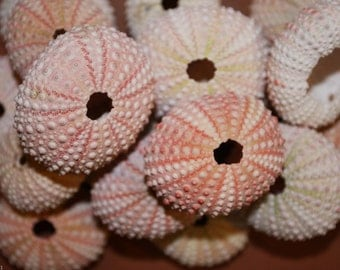 20 pcs) Pink Sea Urchins, Free Shipping, Pink Sea Urchins for craft projects, airplant holders, urchin air plant holder, sea urchin