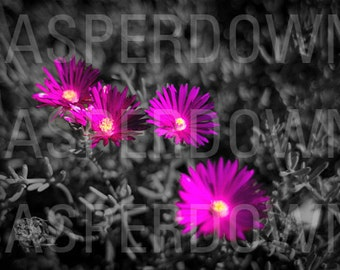 Original Photograph Flower Art Home Decor Colorful Bright Flowers Purple Daisy Photograph Wall Art