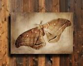 Polyphemus Moth - Insect art - Moth art - brown moth decor- insect decor - rustic insect decor