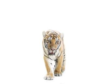Tiger photography. Big cat white background home decor. Jungle animals wildlife nursery art print. Kids room minimalist statement wall art