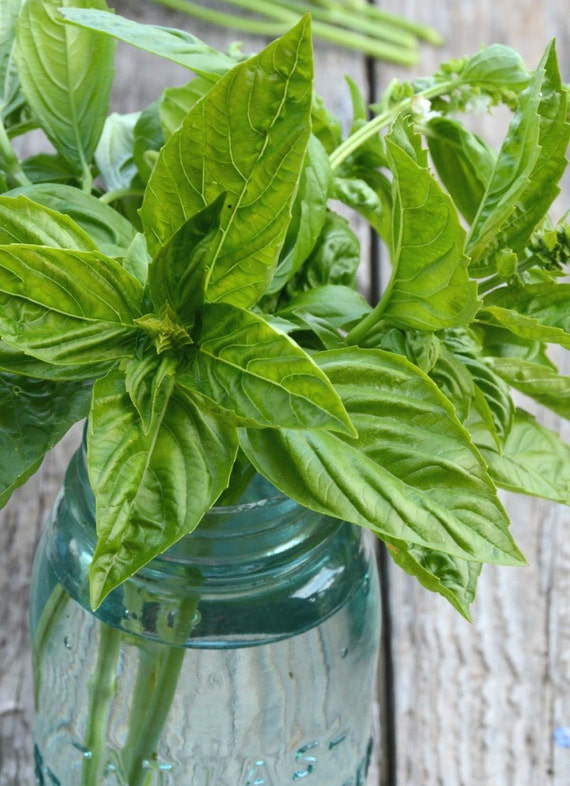 Sweet Basil Seeds Herb Garden Seed Ocimum Basilicum