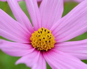Garden Photography Pink Cosmos Photo 11 x 14 Print Wildflower Garden