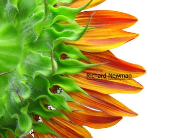Bold and Bright Sunflower, Orange shades, green shades on white background, Wall Art, 12 x 18 photograph
