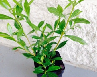 Radicans Dwarf Gardenia Fragrant Evergreen Shrub Starter Plant