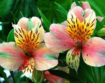 Alstroemeria ligtu, Peruvian Lily, 25 seeds, long lasting cut flower, zones 7 to 11, exotic blooms, multiply every year, easy to grow,