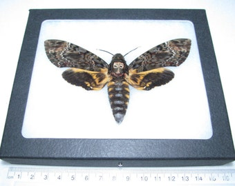 Real silence of the lambs acherontia lachesis death's head moth framed butterfly insect