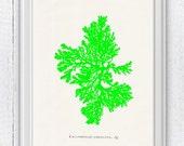 Green sea kelp no.05- color series - sea life print - Marine  sea life illustration A4 print SPC010