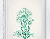 Seafoam seaweed n02- Antique sealife Illustration - sea life print -Marine  sea life illustration A4 print SPC08