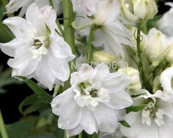 Apple Blossom Larkspur, Lovely White Variety, 25 Seeds