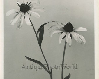 Black-eyed Susan flowers vintage art photo B. Taylor