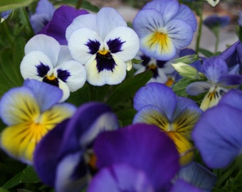 Cluster of Pansies 11 x 14 Photograph For Sale Pansy Photograph Pansy Print Purple White Pansies