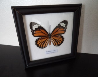 Taxidermy Real Butterfly Common Tiger Picture Framed Lepidopterology Entomology Zoology Collectable