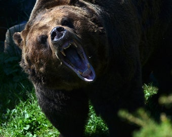 DIGITAL DOWNLOAD, Grizzly Bear, Wild Animal, Fearsome teeth, Nature Photo, Close-up, Stock photo, available in print