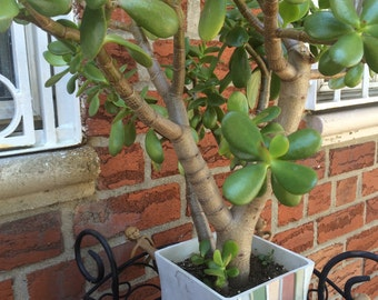 Jade plant rooted, Crassula ovata, bonsai rooted cutting