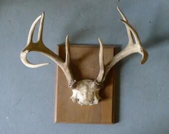 Mounted deer skull & with 9 point antler rack