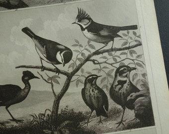 BIRDS old print of birds original 1849 antique hummingbird treecreeper robin vintage pictures bird illustration