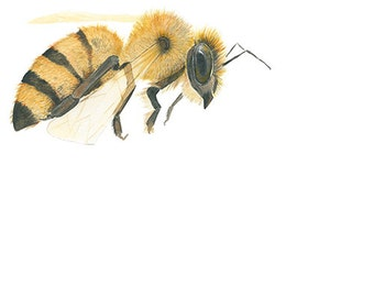 Watercolor Painting Honey Bee Insect Archival Print 8x10