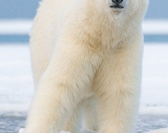Polar Bear on Ice Float (Art Prints available in multiple sizes)