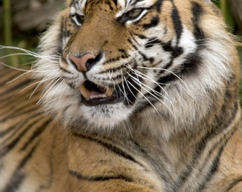 Sumatran Tiger Up Close (Art Prints available in multiple sizes)