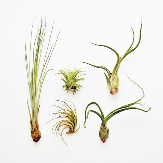 5 Pack Air Plant The Yucatan Collection Set Of 5 Air