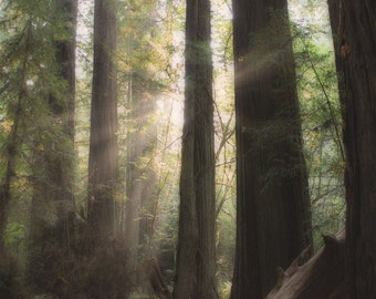Tree Photo | Redwoods Art | Redwood Forest Photo | Woodland Tree Print | California Redwood | Sunlight through Trees | California Nature Art