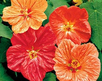 Abutilon- Bellevue Mix- 50 Seeds