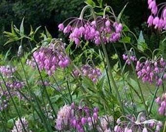 Allium Cernuum- 50 Seeds