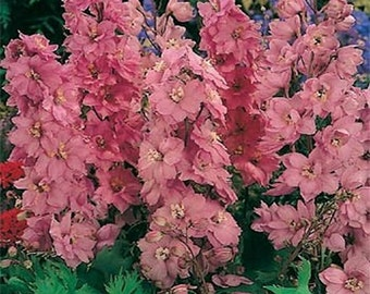 Delphinium- Astolat- 50 seeds