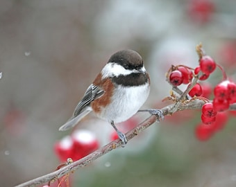 Chickadee Print, Bird Art, Winter Art, Christmas Decor, Chickadee Art, Bird Watching, Bird Wall Art, Chickadee Photograph, Fine Art Photo
