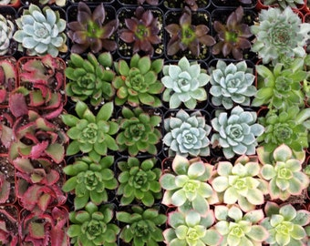Succulent Plants. Assortment of 20 Gorgeous Succulents. Wonderful grouping for weddings and shower favors.