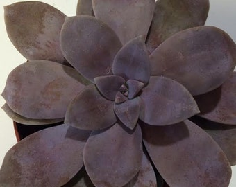 Medium Succulent Plant Graptopetalum Pentadrum. A beautiful lavender rosette.