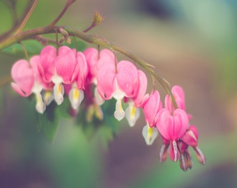 Bleeding Hearts, Fine Art Photography by Pitts Photography