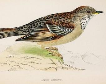 Alpine Accentor. Original 1800s Antique Bird Print by Reverend F. O. Morris