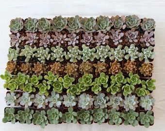 180 of 2 inch Succulents Wedding Special. Cheapest On The Market. Make Perfect Wedding and Event Favors