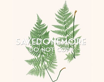 Vintage Botanical Fern Print Instant Download Make Your Own Art {Fern 22}