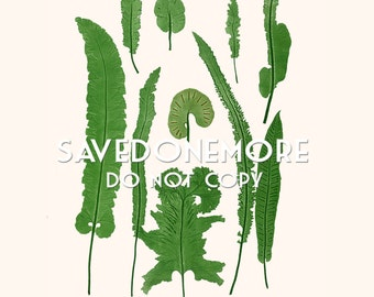 Vintage Botanical Fern Print Instant Download Make Your Own Art {Fern 42}