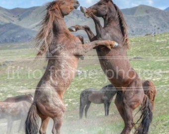 Wild Horses of Utah Fighting Close Up