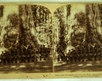 1894 Stereoview / Photo / Set of 2 Stereoview Cards / Grizzly Giant / Largest Tree / Mammoth Tree in the World / Mariposa Grove / California