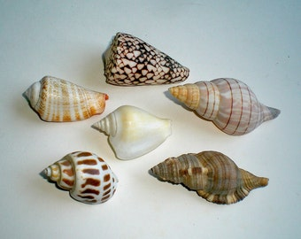 Five Collectible Seashells - Spiraled Gastropods (Item Y 47)