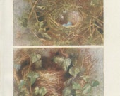 Hedge Sparrow, Spotted Flycatcher, 1906 Antique Tiny Bird Nest Picture 8, Egg, Country Cottage Decor, Woodland Art, Woodland Nursery, Nature