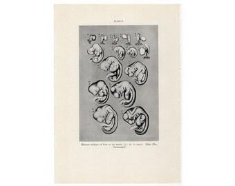 1934 HUMAN EMBRYO print original antique medical anatomy lithograph - 4 to 6 weeks