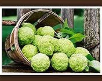 100 percent Organic, Hedge Apples, Pomifera, Osage Oranges, Monkey Balls, Mock Oranges Fall Woodland Home Decor Rustic Wedding