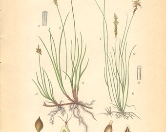 BLUNT SEDGE and Flea Sedge - Botanical Book Plate 1905 Grass Illustration 431