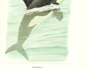 1970 Vintage orca print Orca watercolor Vintage wildlife print Orca art Orca image Orca painting orca decor orca gift  mammals of Europe