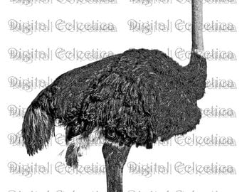 Ostrich Engraving. Ostrich PNG. Animal PNG. Ostrich Prints. Ostrich Images. Ostrich Pictures. Ostrich Clipart Ostrich Drawings No. 0193